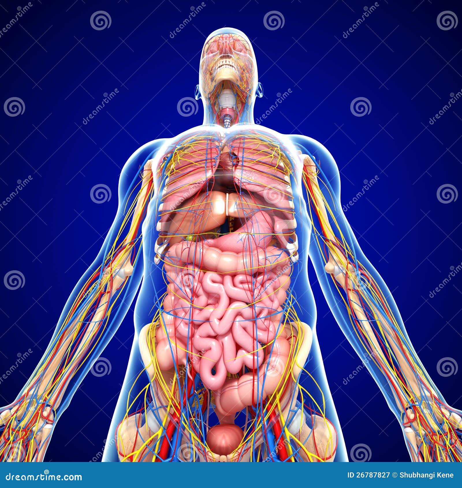 Nervensystem Mit Zirkulation Im Menschlichen Körper Stock Abbildung ...