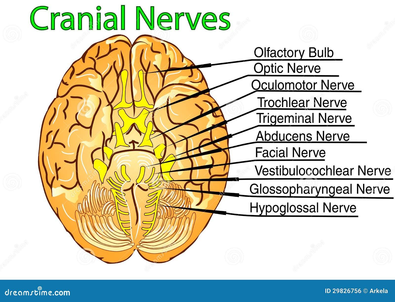 Nervios craneales ilustración del vector. Ilustración de craneal ...