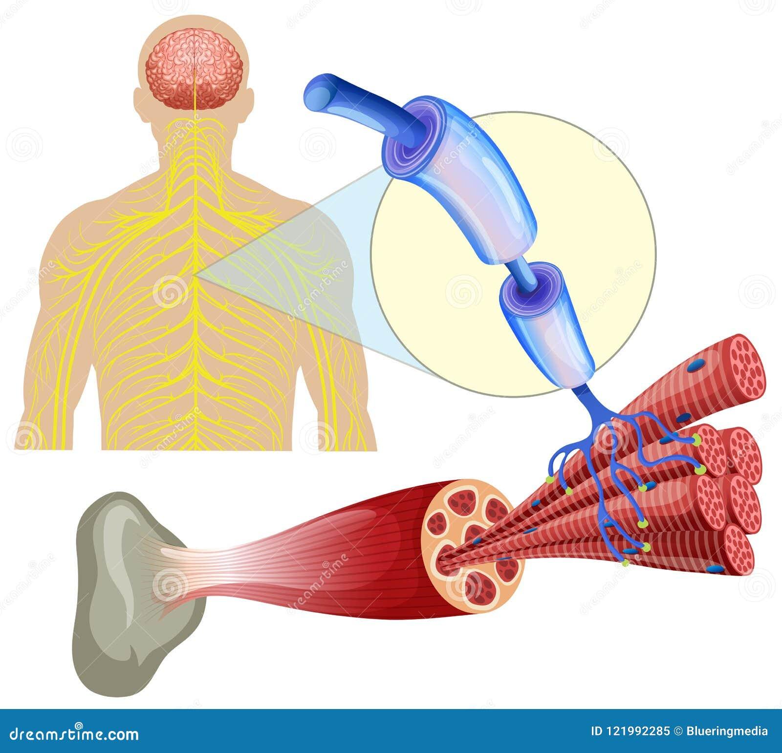 Nervios Sanos Humanos Del Músculo Ilustración del Vector ...