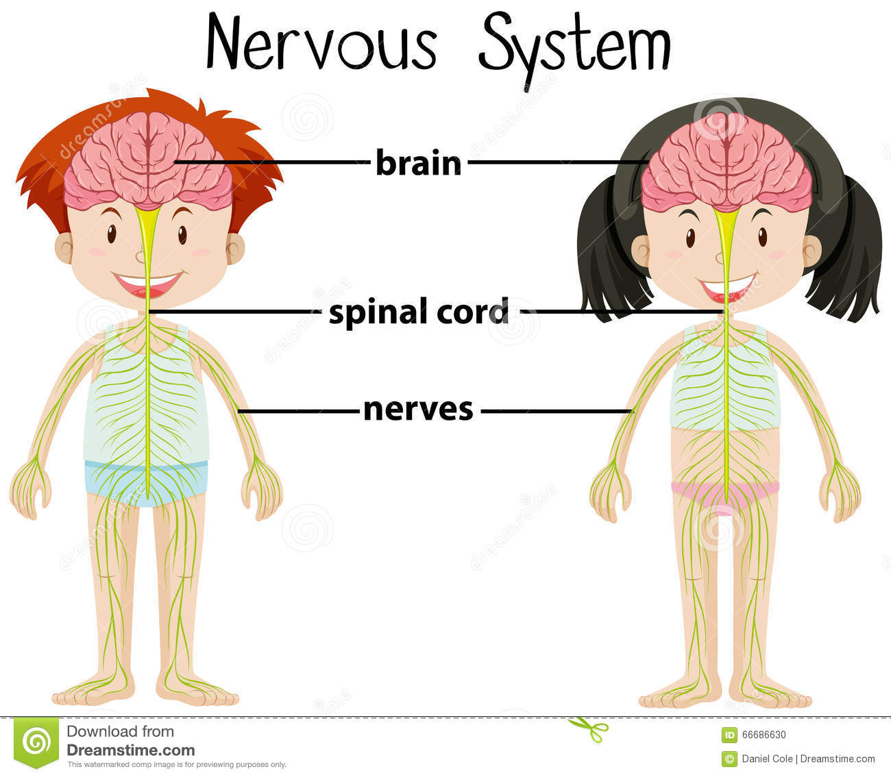 nervous system of boy and girl stock vector - illustration of health
