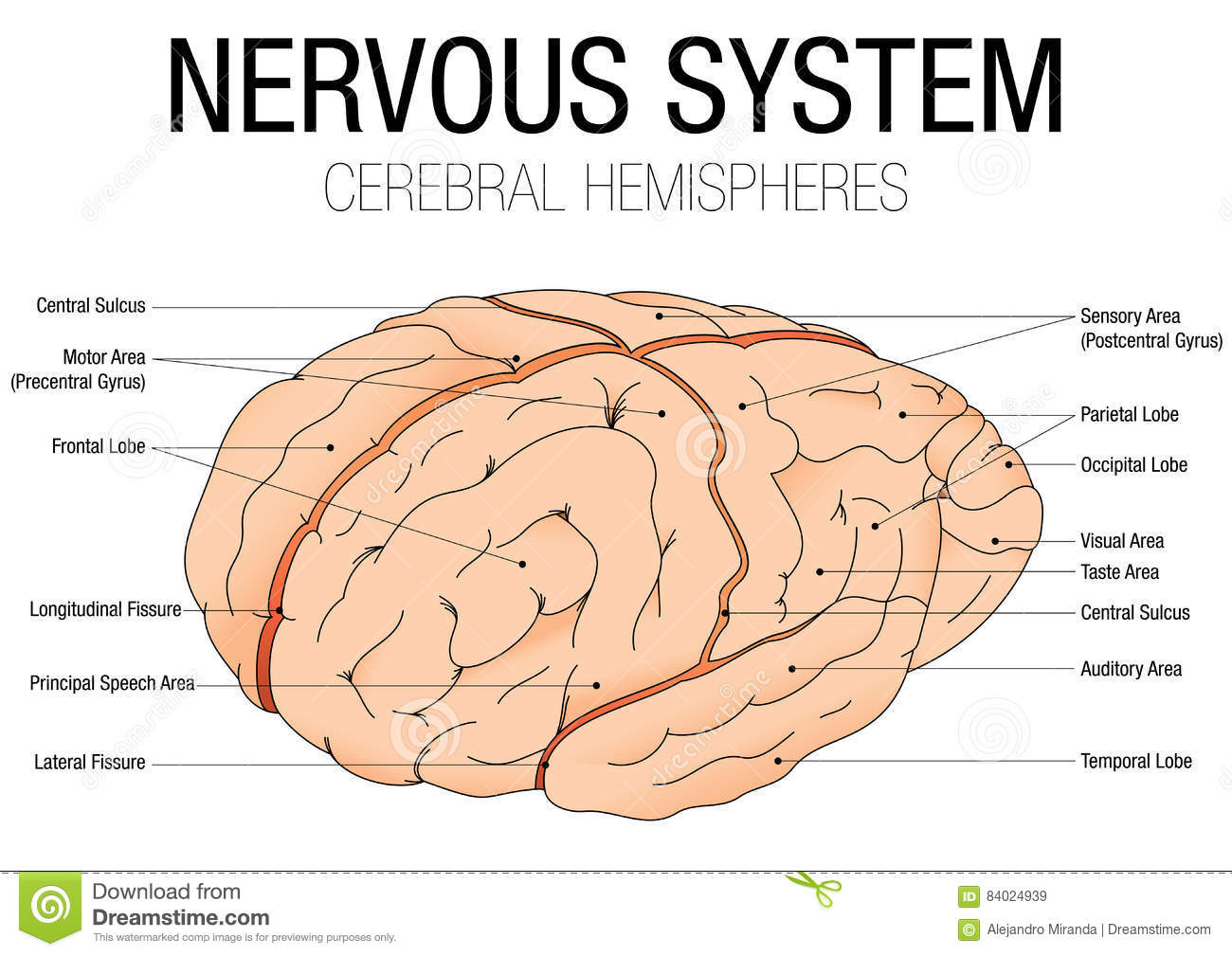 Nervous System Cerebral Hemispheres With Parts Name Stock Vector