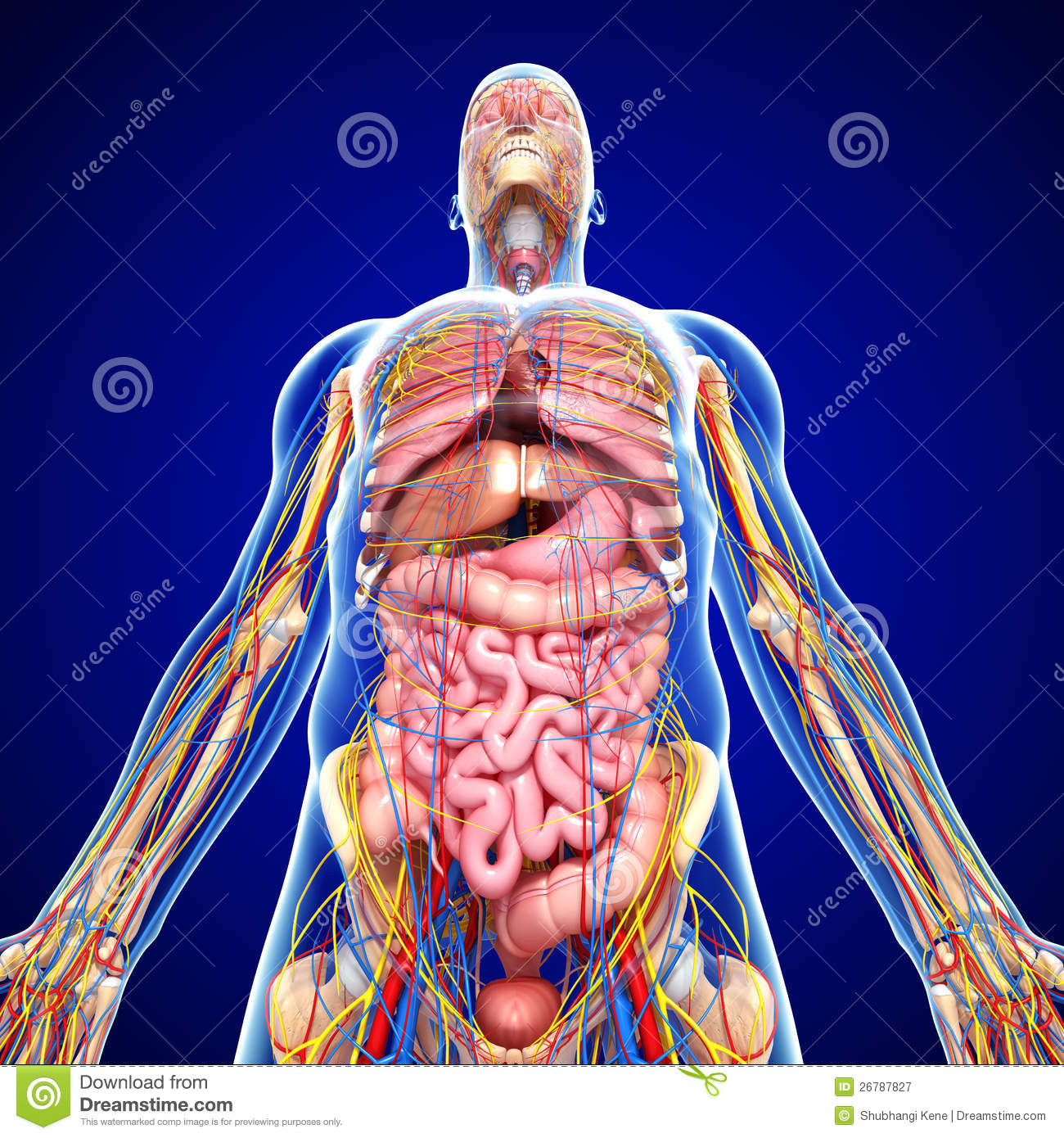Nervous System With Circulation In Human Body Stock Illustration