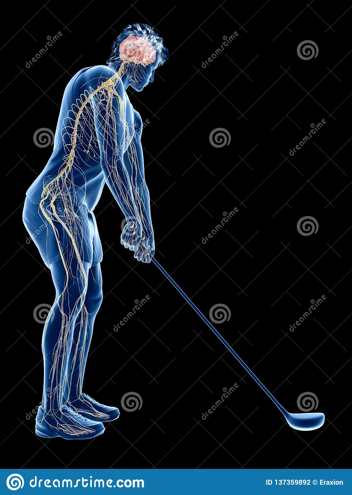 The nervous system of a golf player