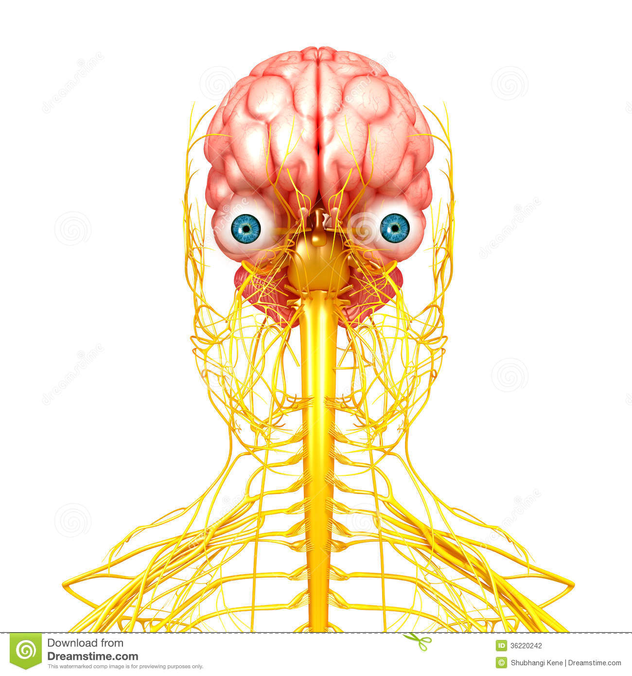 Nervous System Of Human Front Side View Stock Illustration