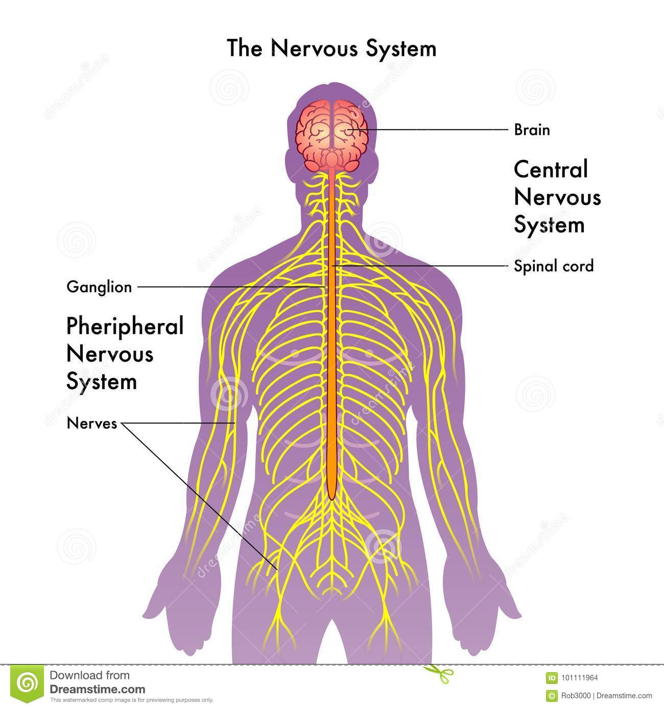 nervous system illustration stock vector - illustration of nervous