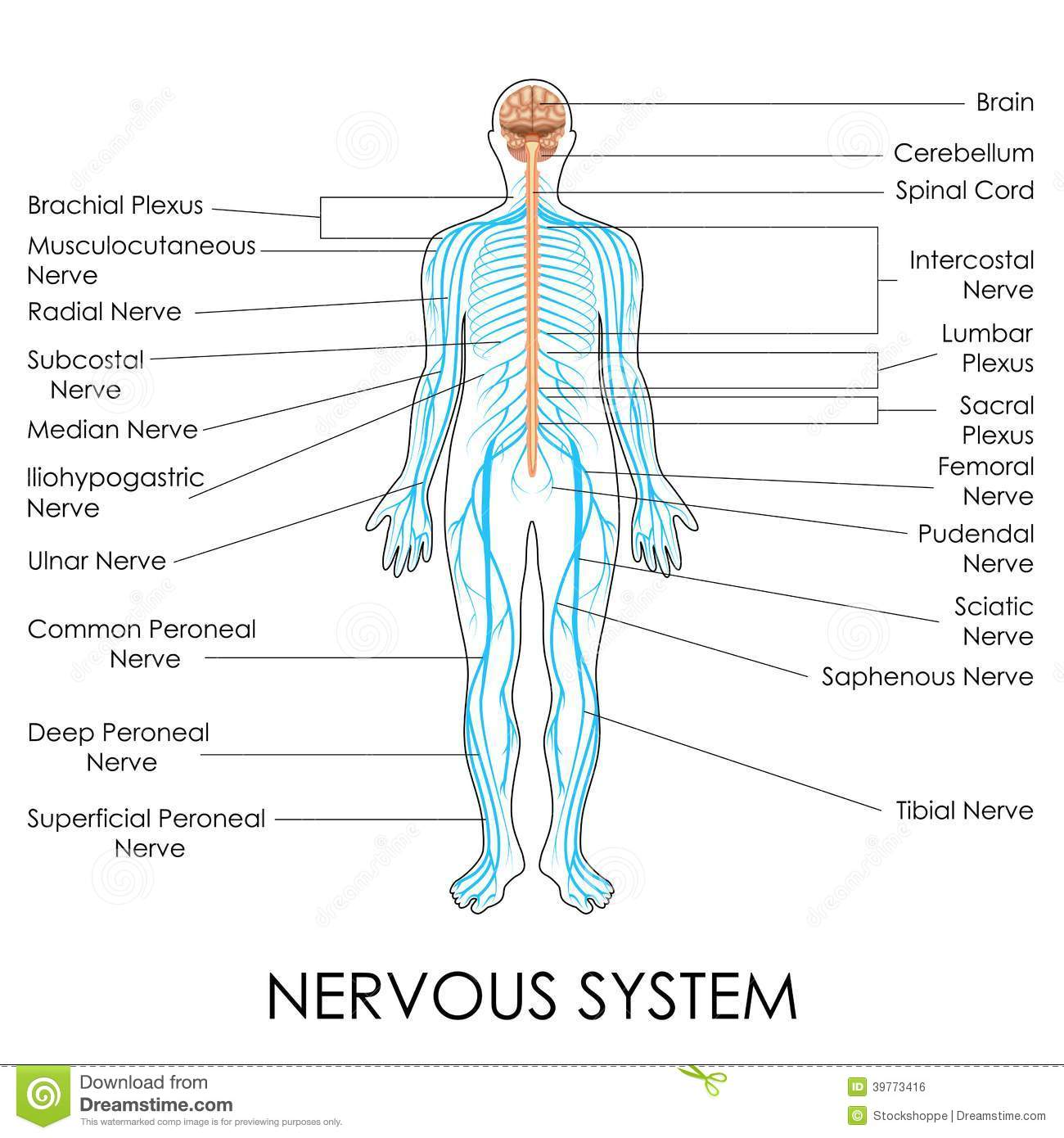 Nervous system stock vector illustration of neuron education nervous system stock vector illustration of neuron education 39773416 ccuart Gallery