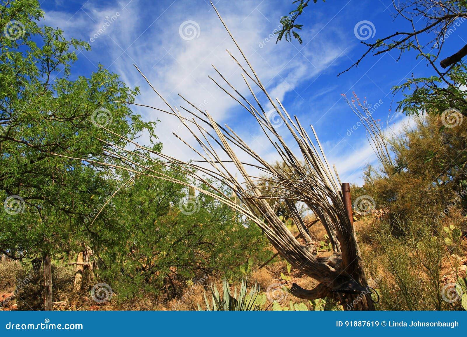 nervures en bois d 39 un cactus mort de saguaro image stock image 91887619. Black Bedroom Furniture Sets. Home Design Ideas