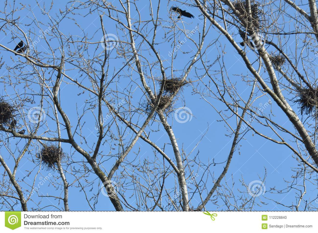 Nest and crows on tree top branch