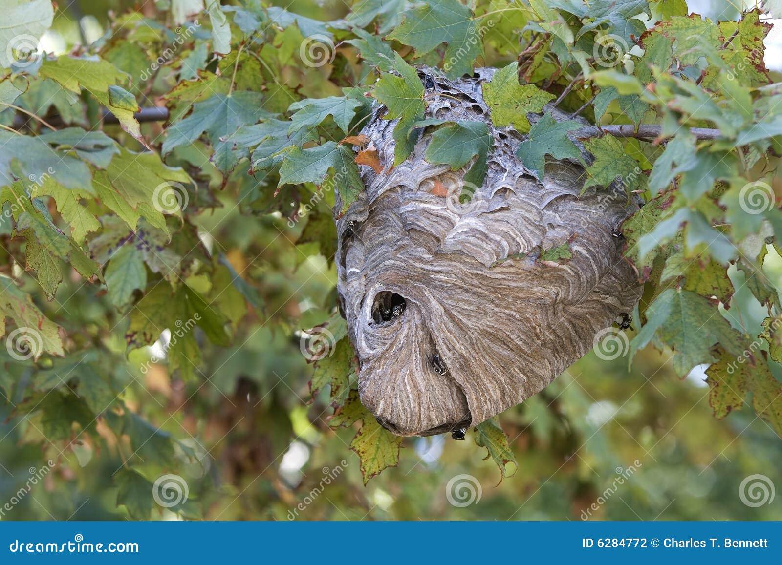 Nest der aktiven hornisse das in einem ahornholzbaum aufgebaut wird