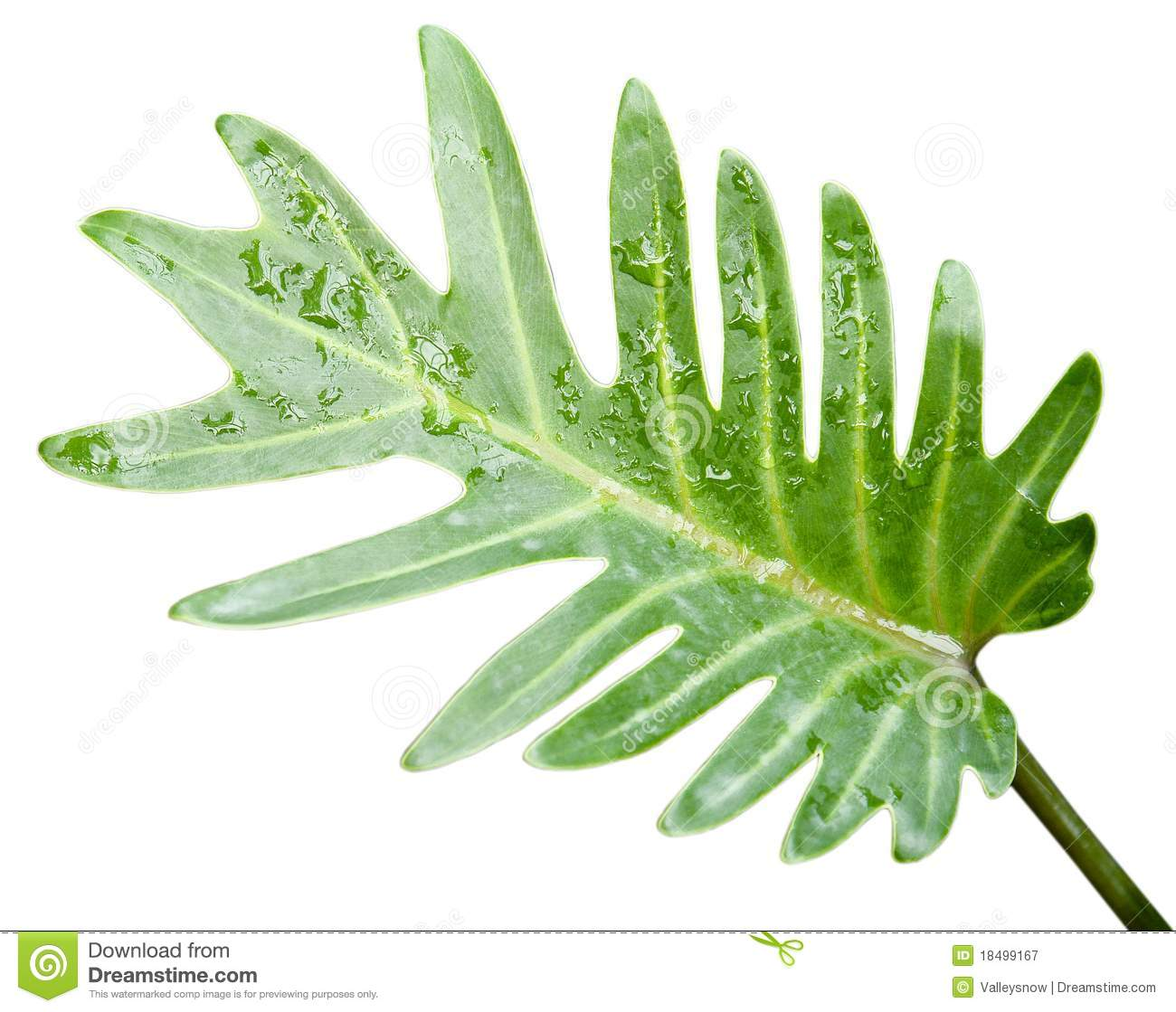 ... in the jungle damp place, such as bird's nest shape of the leaves
