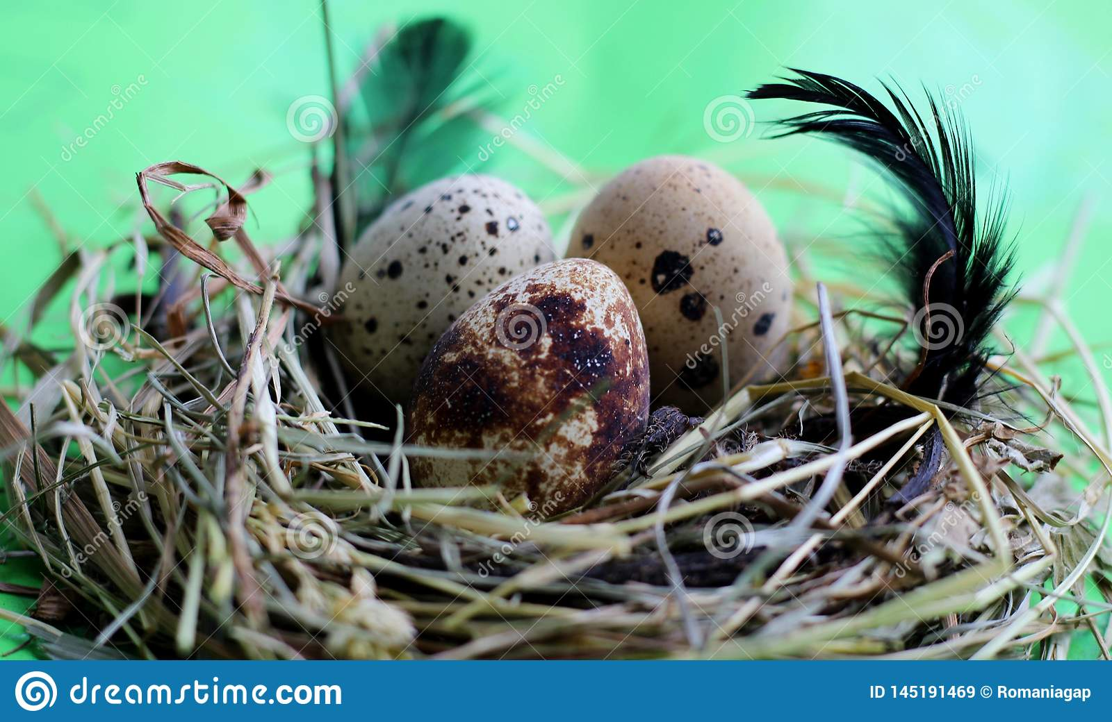 Nest with quail eggs and feathers on light green background