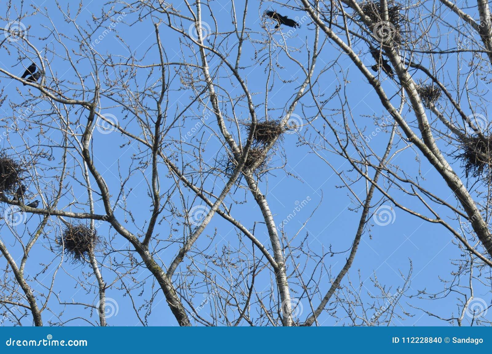 Nest und Krähen auf Wipfelniederlassung