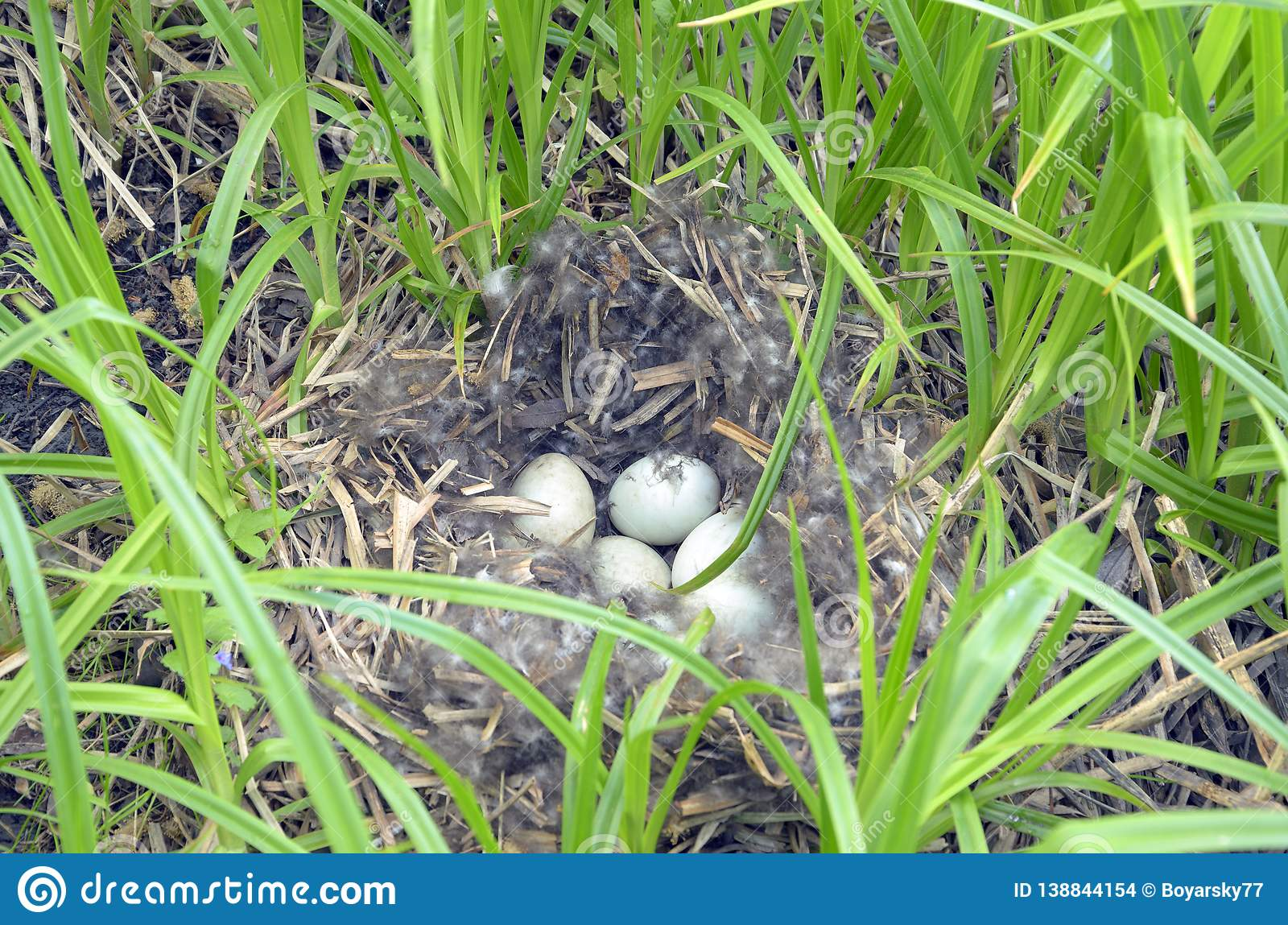 Nest of wild duck with eggs