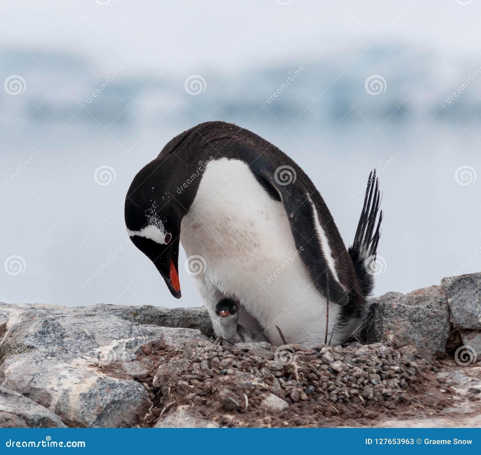 Nesting adult Gentoo Penguin with young chick, Antarctic Peninsula