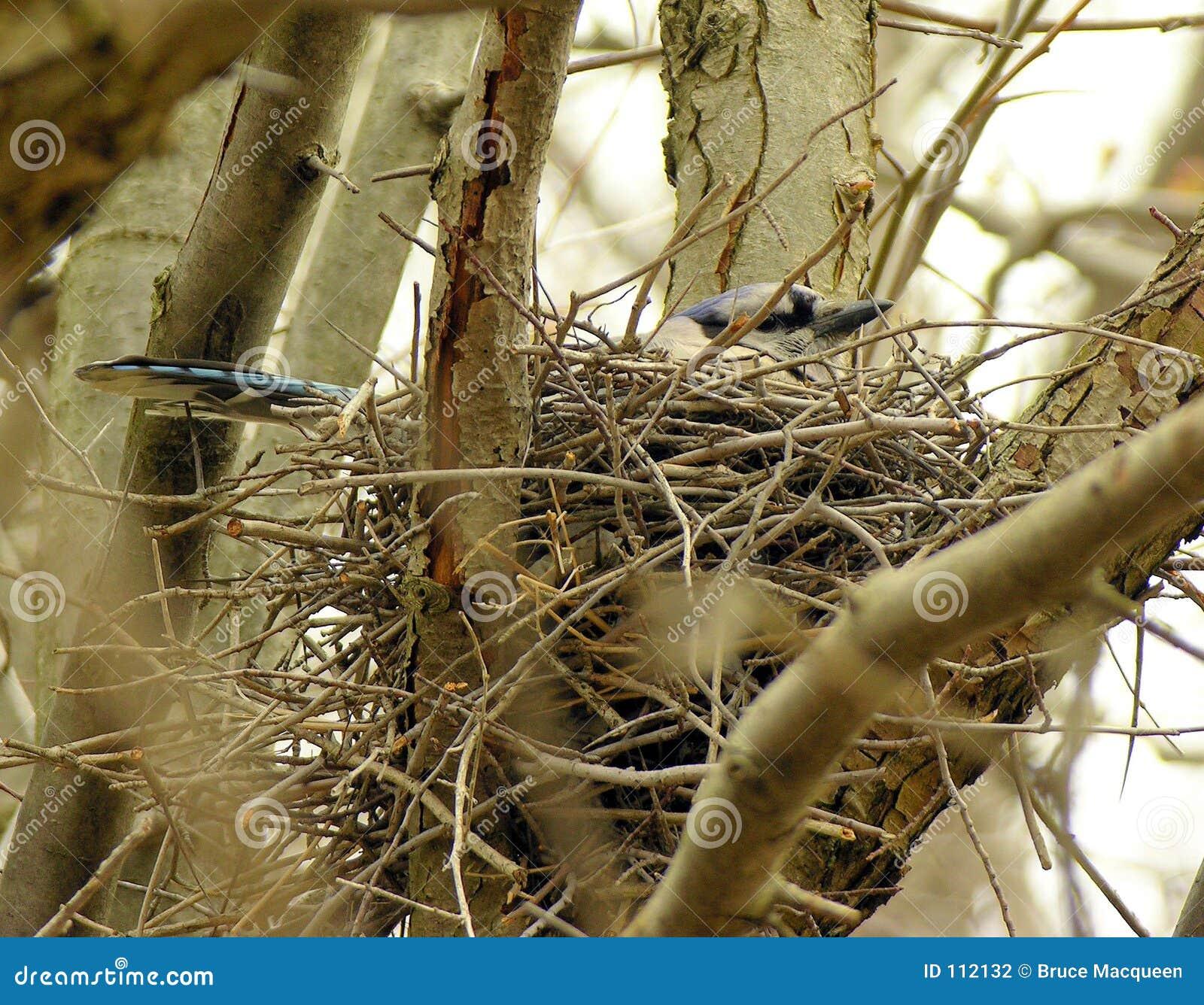Nesting Blue-jay