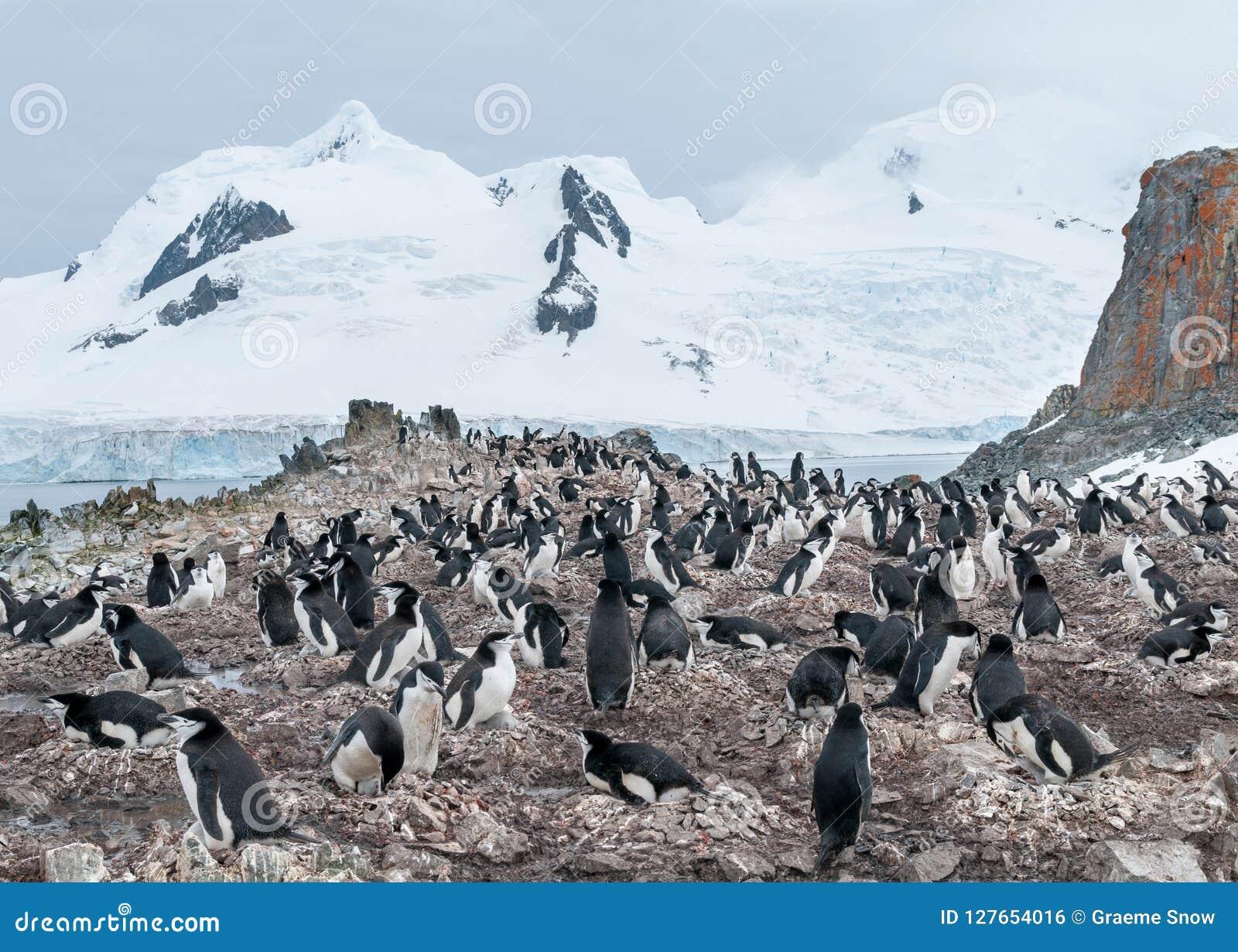 Nesting Chinstrap Penguin colony, Halfmoon Island, Antarctic Peninsula