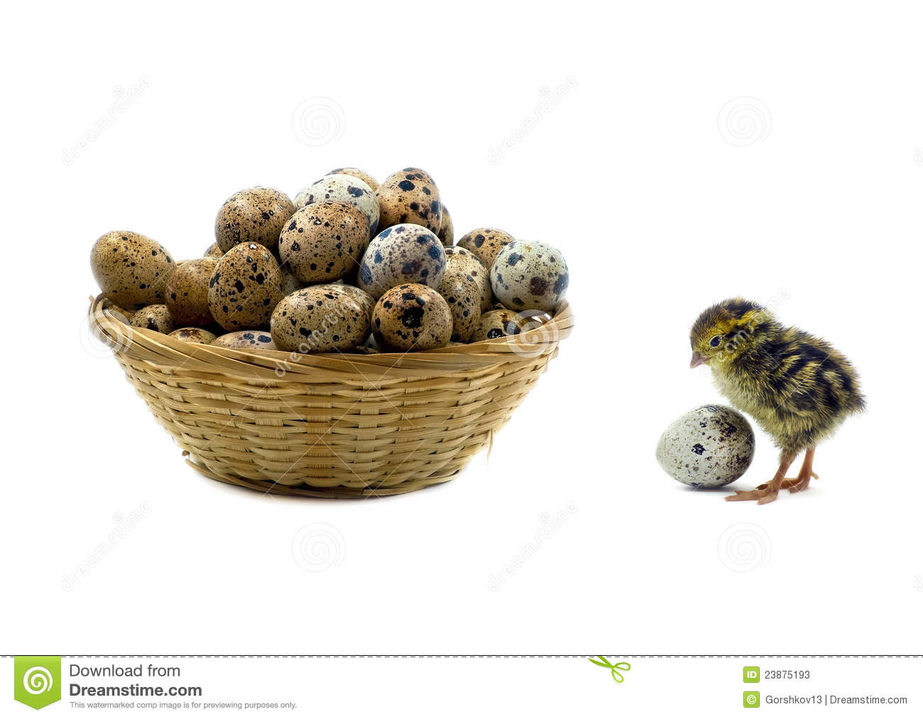 Nestling quail is waiting for siblings
