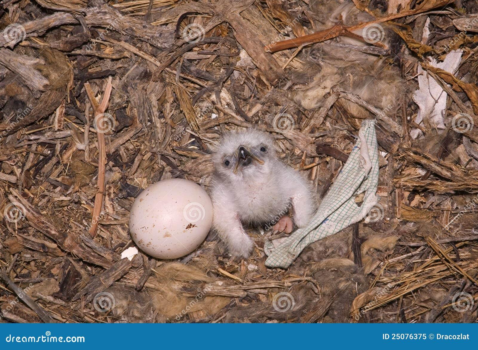 Nestling Steppe Eagle Aquila Nipalensis Stock Image Image Of Nest Beak 25076375