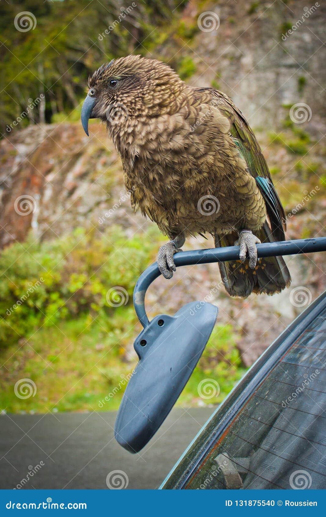 Nestor Kea Parrot en el parque nacional del paso de Arthurs, NZ
