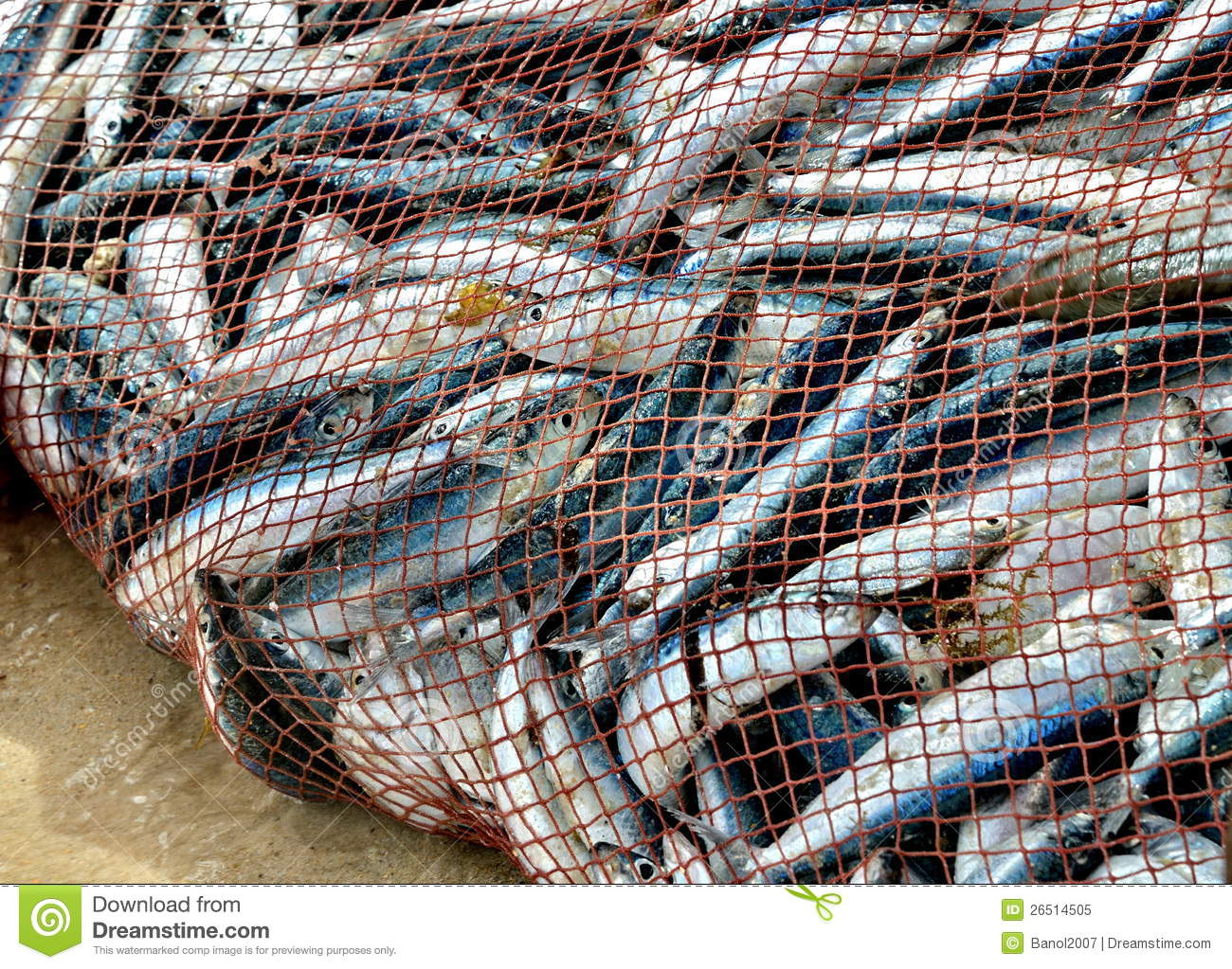 Net is full of fish nice catch stock image image of for Fish catching net