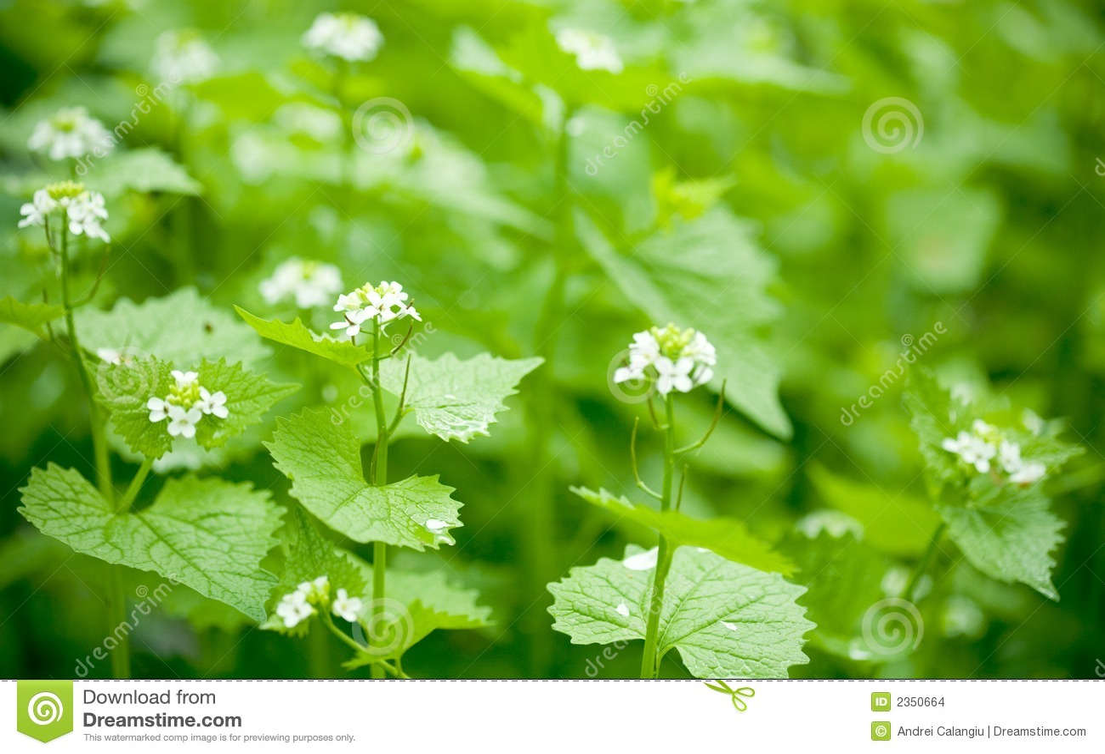 Netel bloemen/ondiepe dof