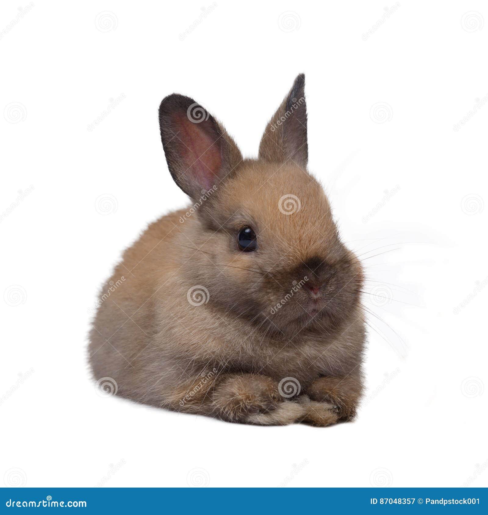 Netherland dwarf rabbit.