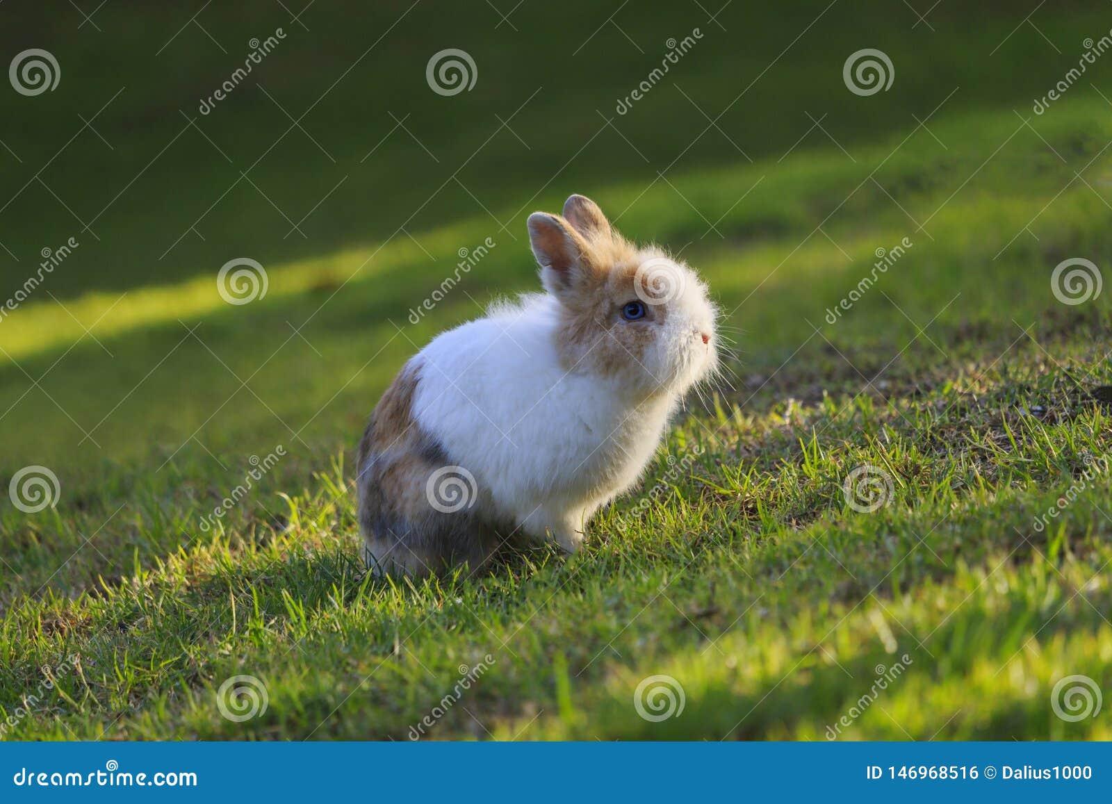 Netherland Dwarf rabbit sitting on grass during a sunset