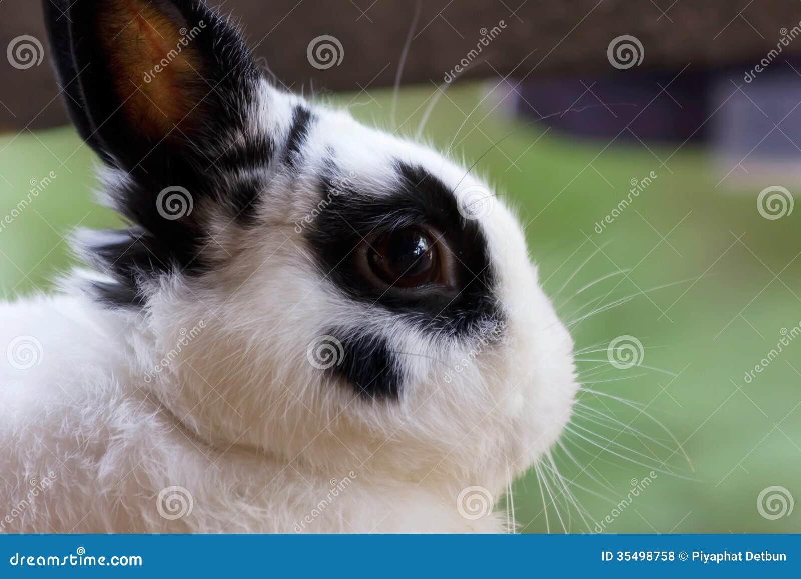 Netherland karła królik