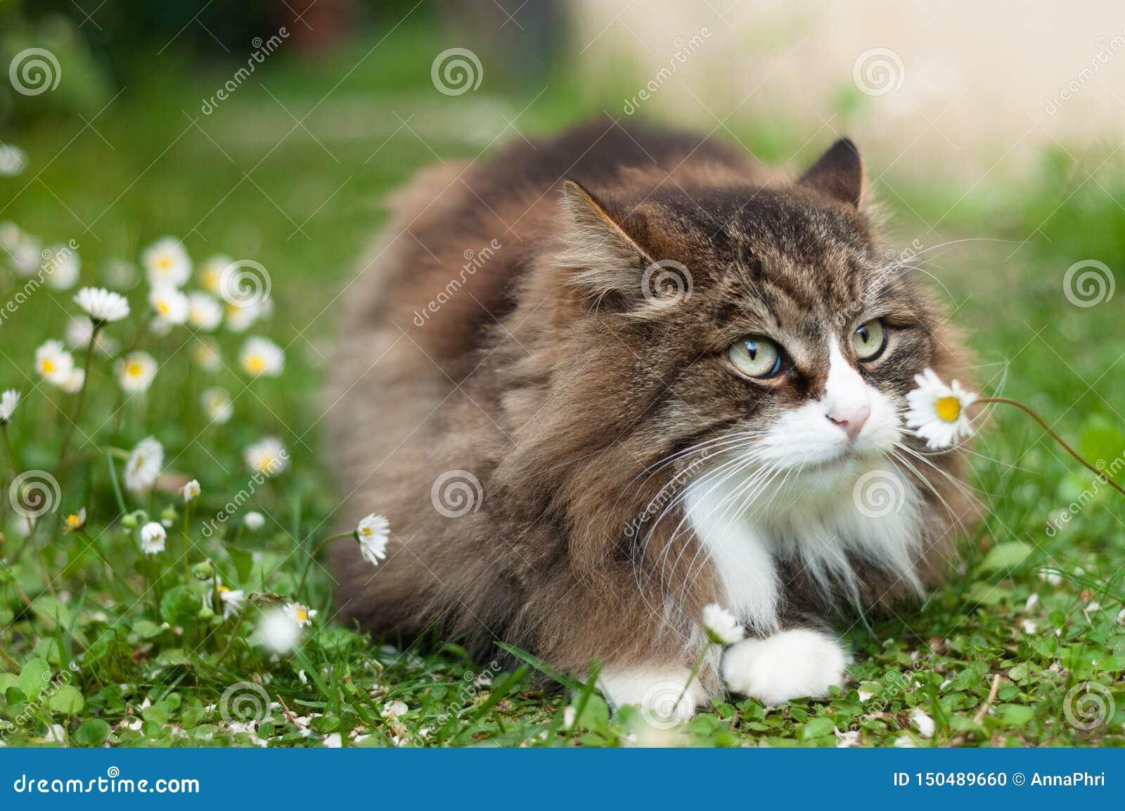 Nette flaumige Katze mit einem Gänseblümchen