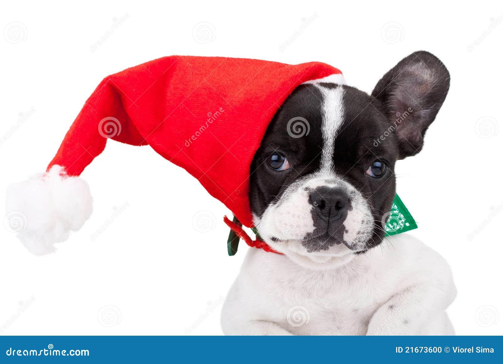 Nette französische Bulldogge, die eine Sankt-Schutzkappe trägt