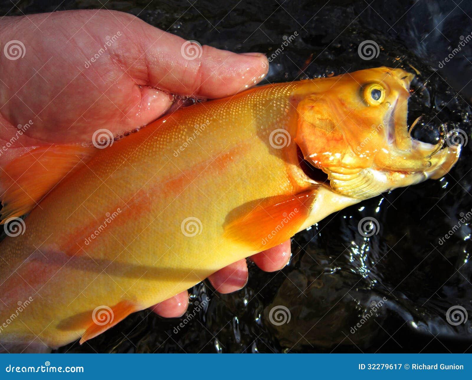 Nette goldene Forelle