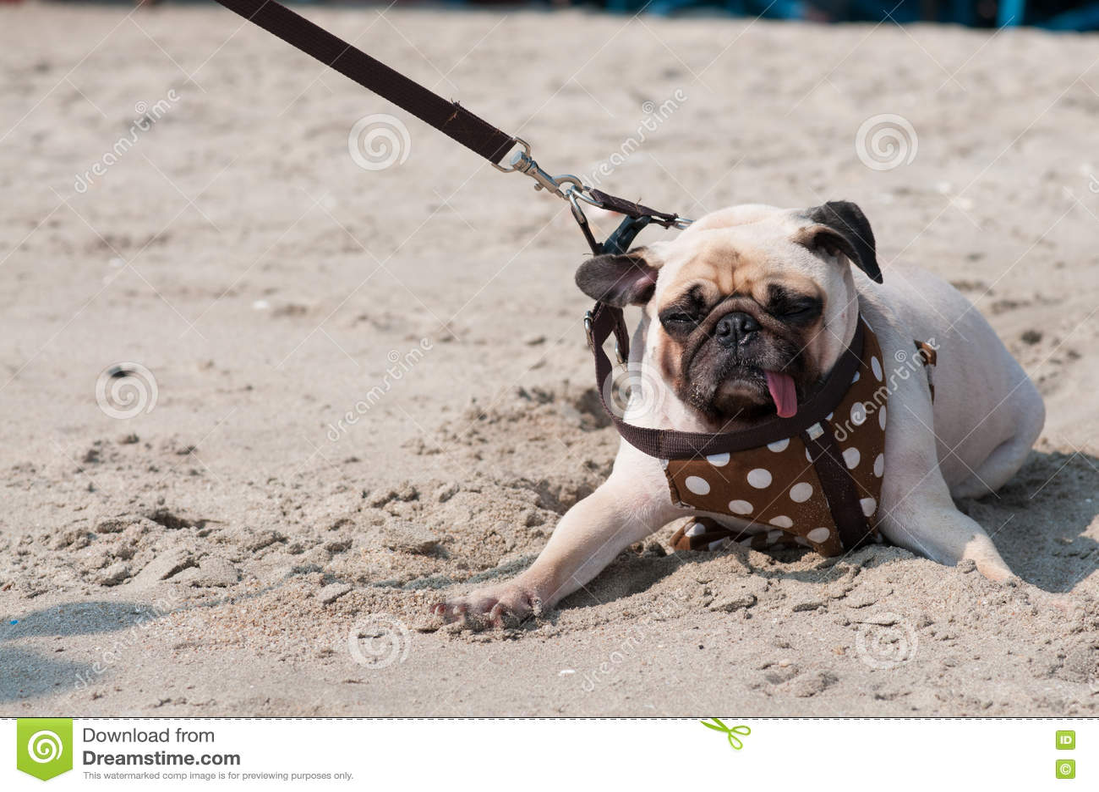 Nette Hundpug Wink-Augenfurcht und ängstlichwassermeer setzen auf den Strand, wenn Leute versuchen, Pug zu ziehen, um Schwimmen a