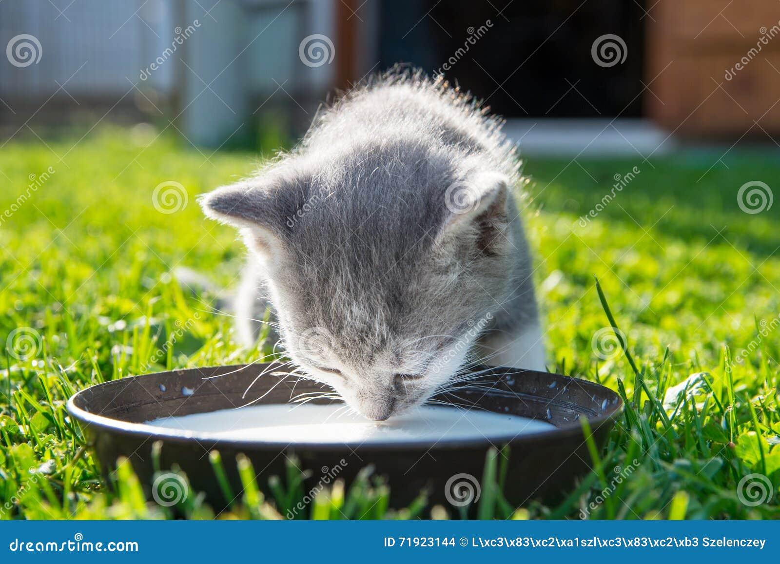 Nette Katze Trinkt Milch Stockfoto Bild Von Wenig Schwarzes 71923144
