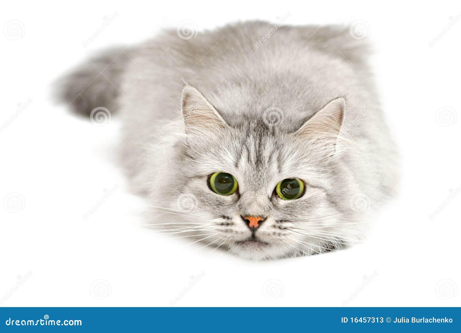 Katze Vor Dem Fernseher Bild: Nette Katze Vor Sprung Stockbild. Bild Von Schönheit