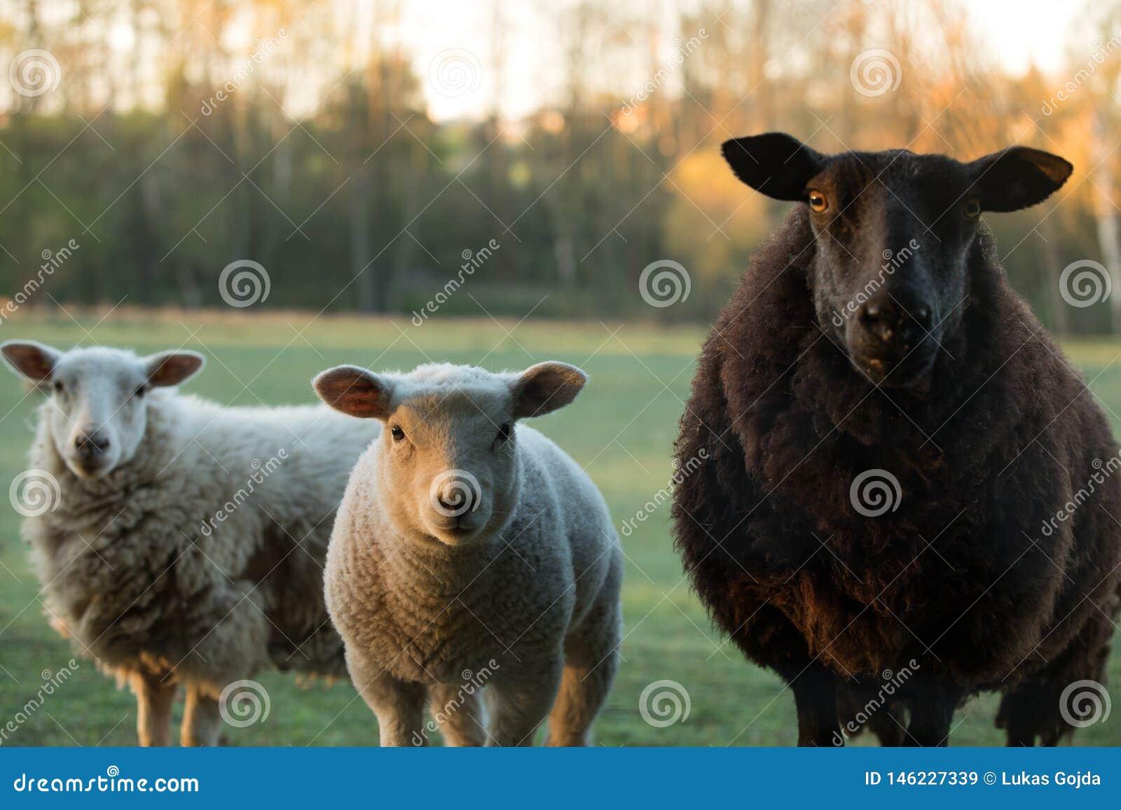 Nette kleine Lämmer und schwarze Schafe auf frischer grüner Wiese