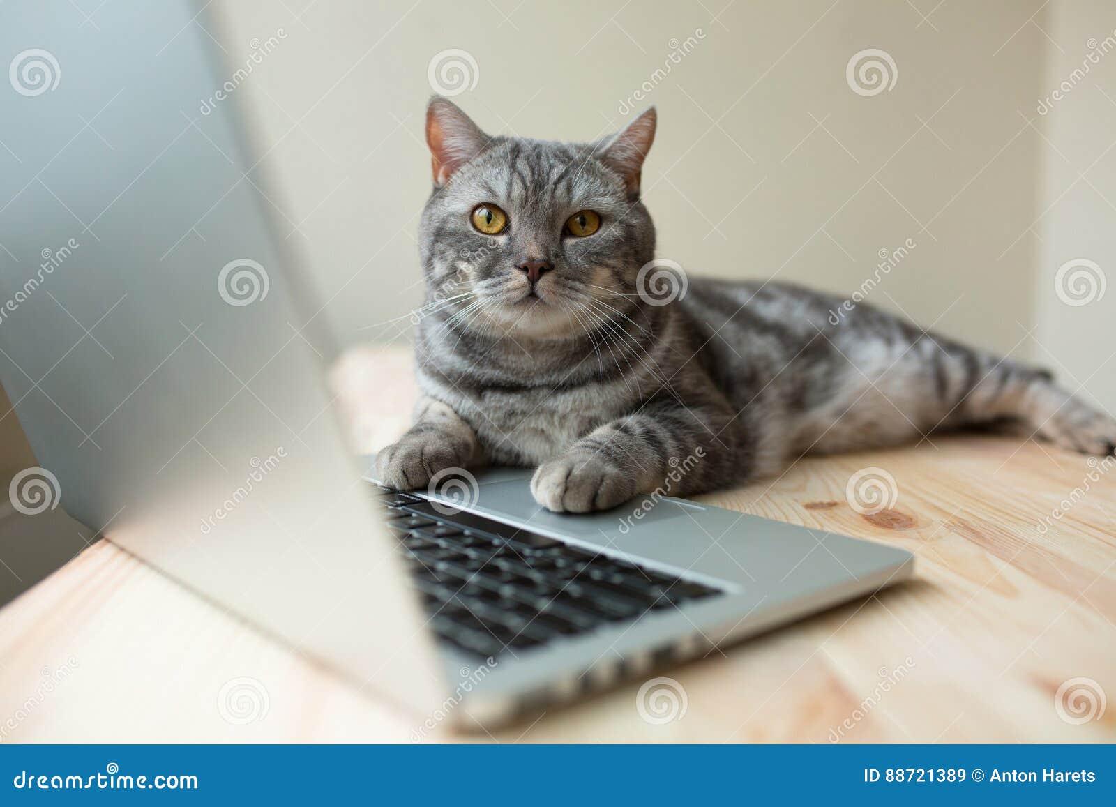 Nette schottische gerade graue Katze, die online am Computer arbeitet