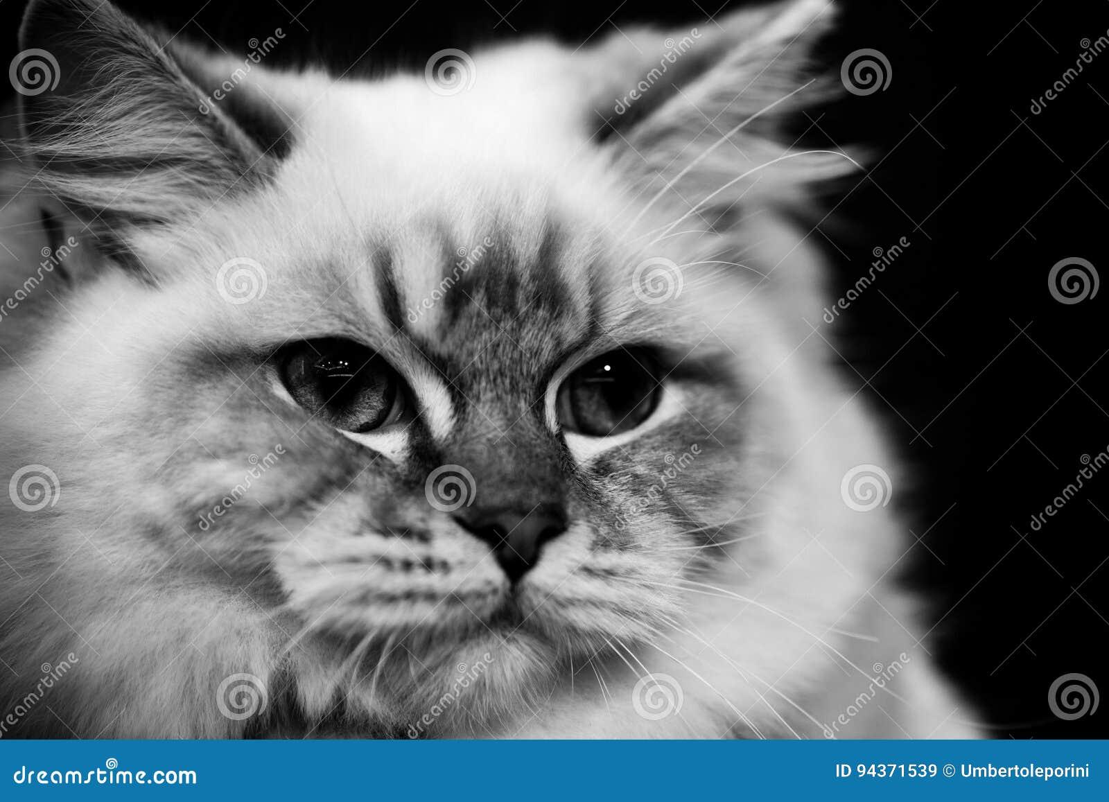 Nette Schwarzweiss-Tierporträts der birmanischen Katze