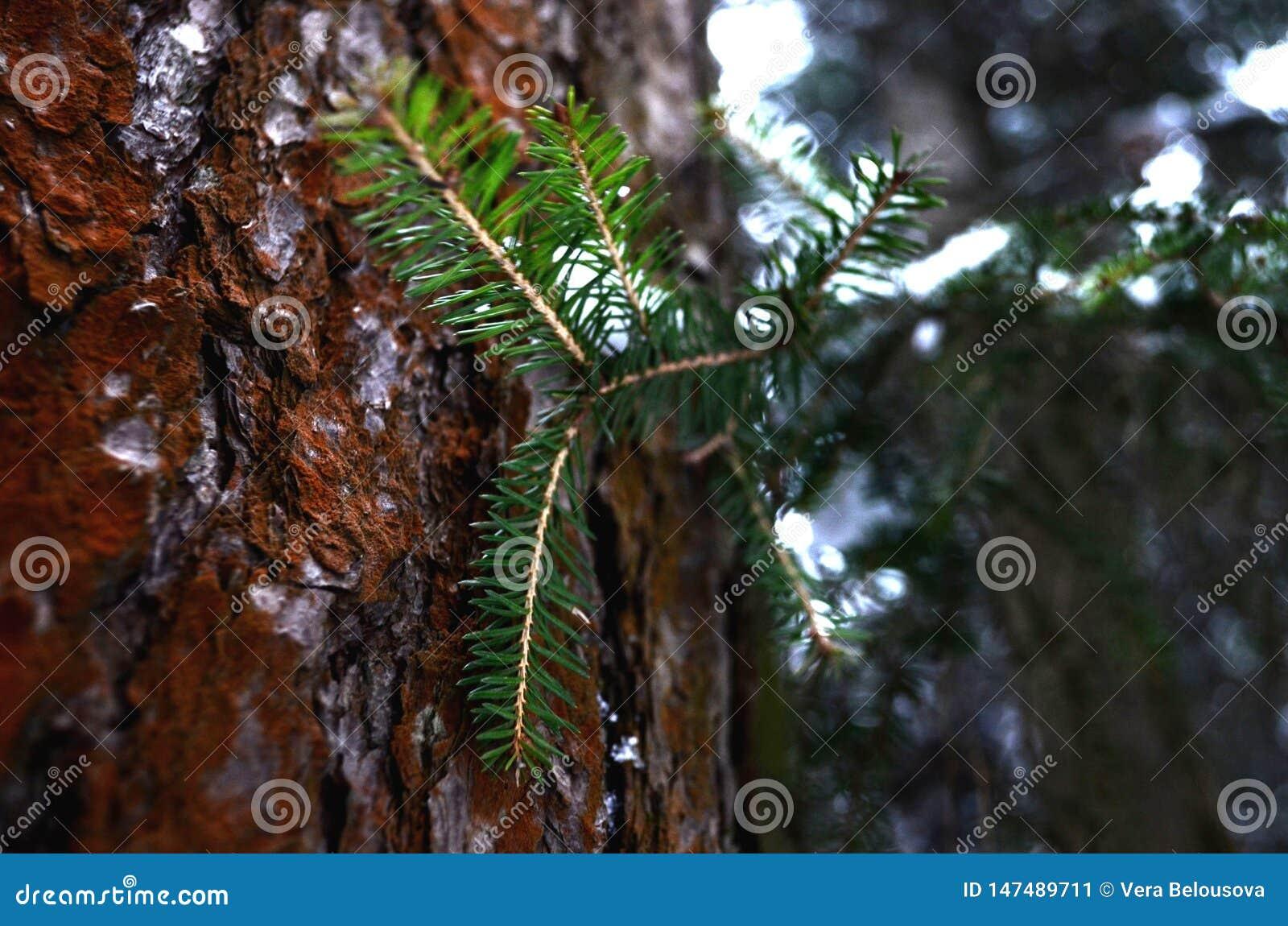 Nette tak op een achtergrond van pijnboom