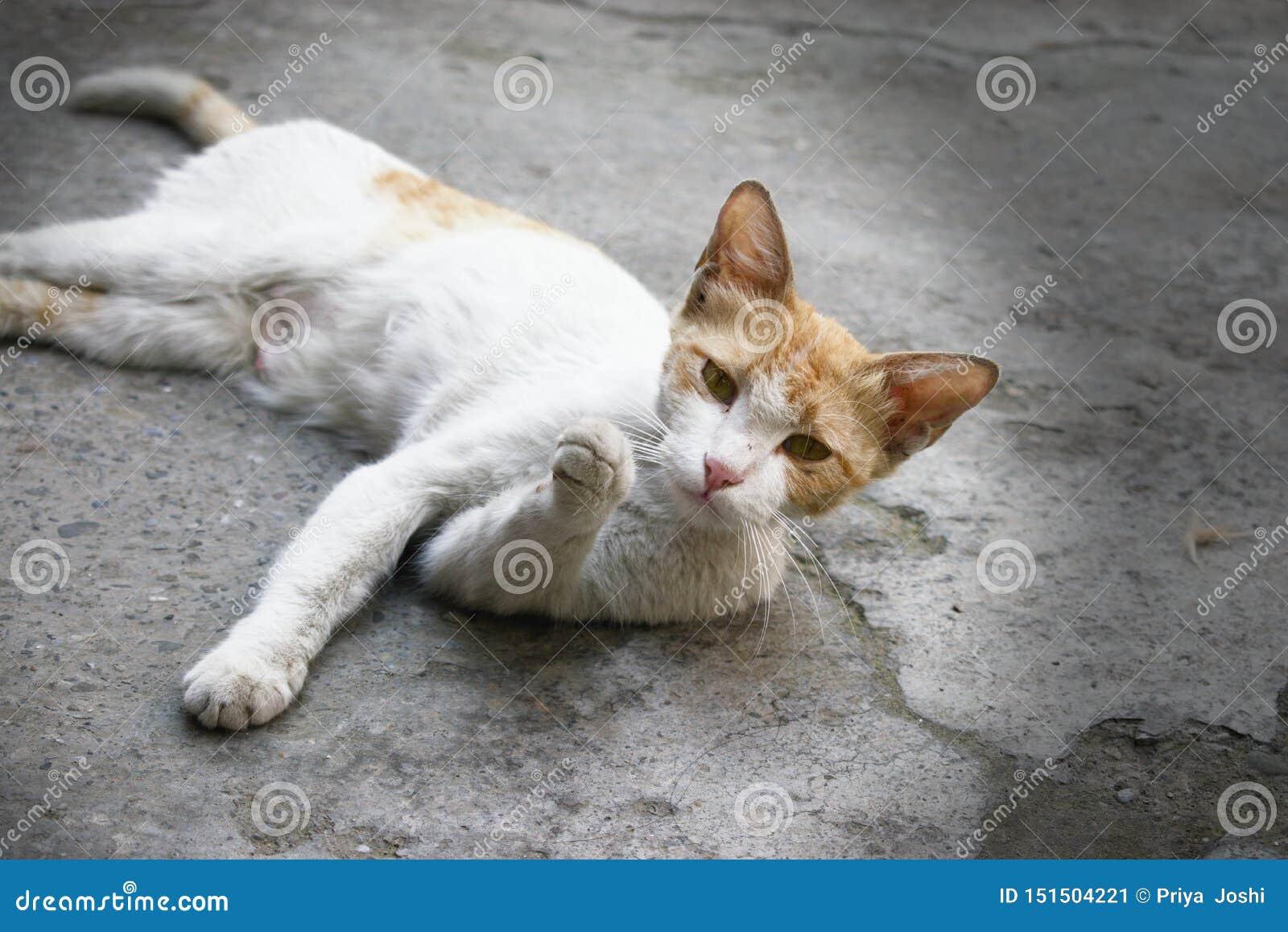 Nette weiße Katze mit einem interessanten und neugierigen Ausdruckamerikanischen nationalstandard