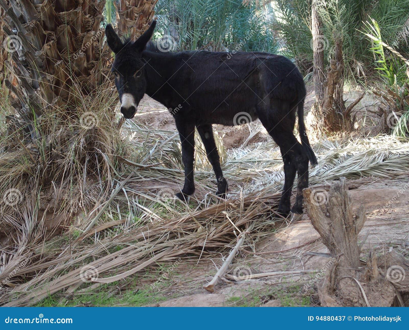 Schwarzes Esel-Sextband Gruppenpussy spritzen