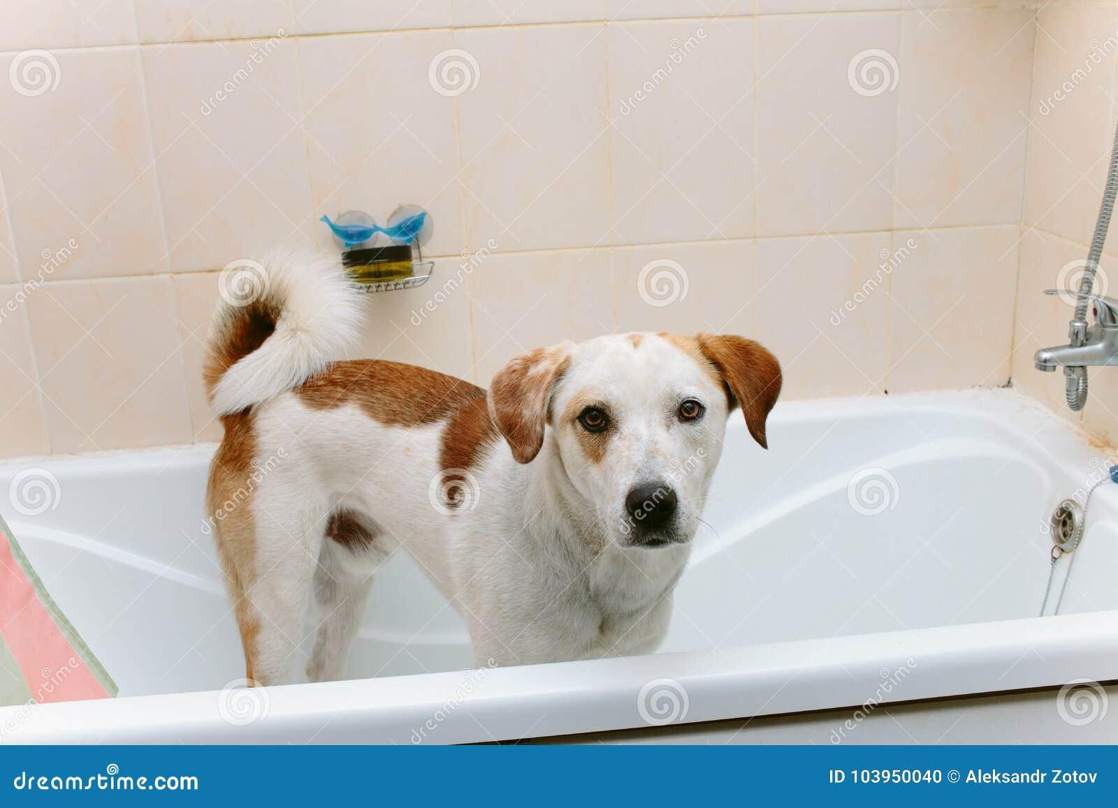 Netter Hund Der In Der Badewanne Wartet Gewaschen Zu Werden Steht