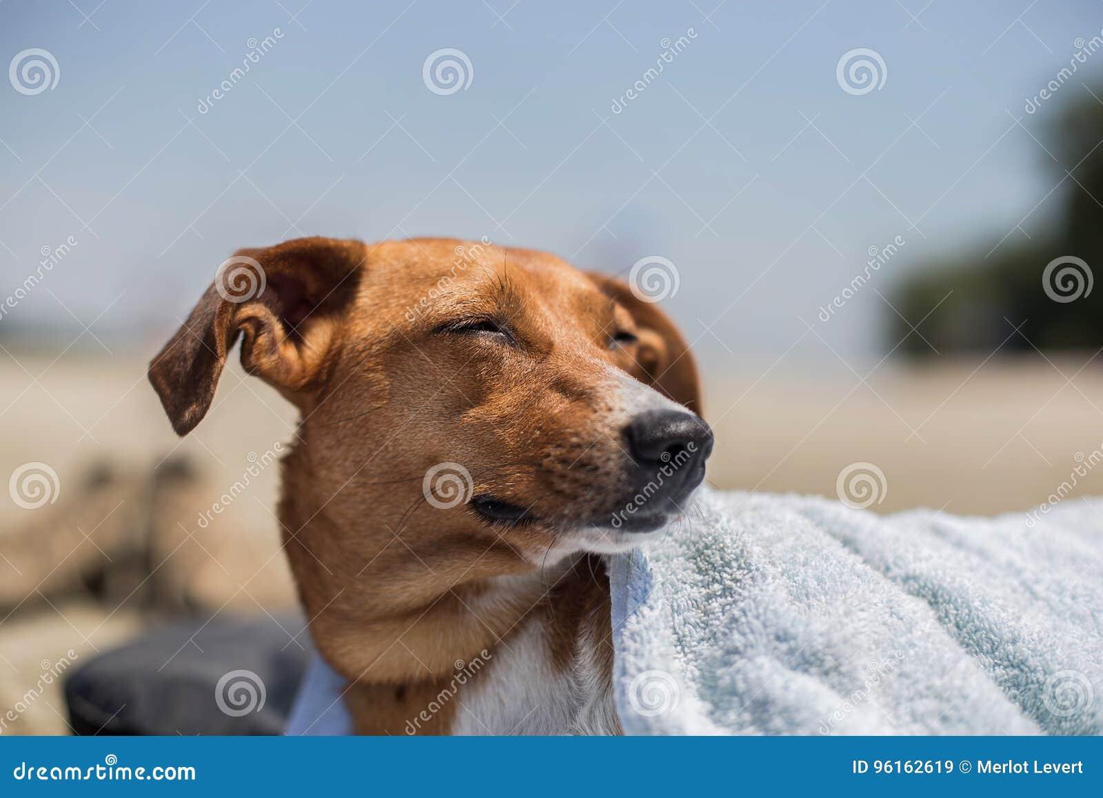 Netter Hund mit einem Tuch über seiner Mündung am Strand im Sommer