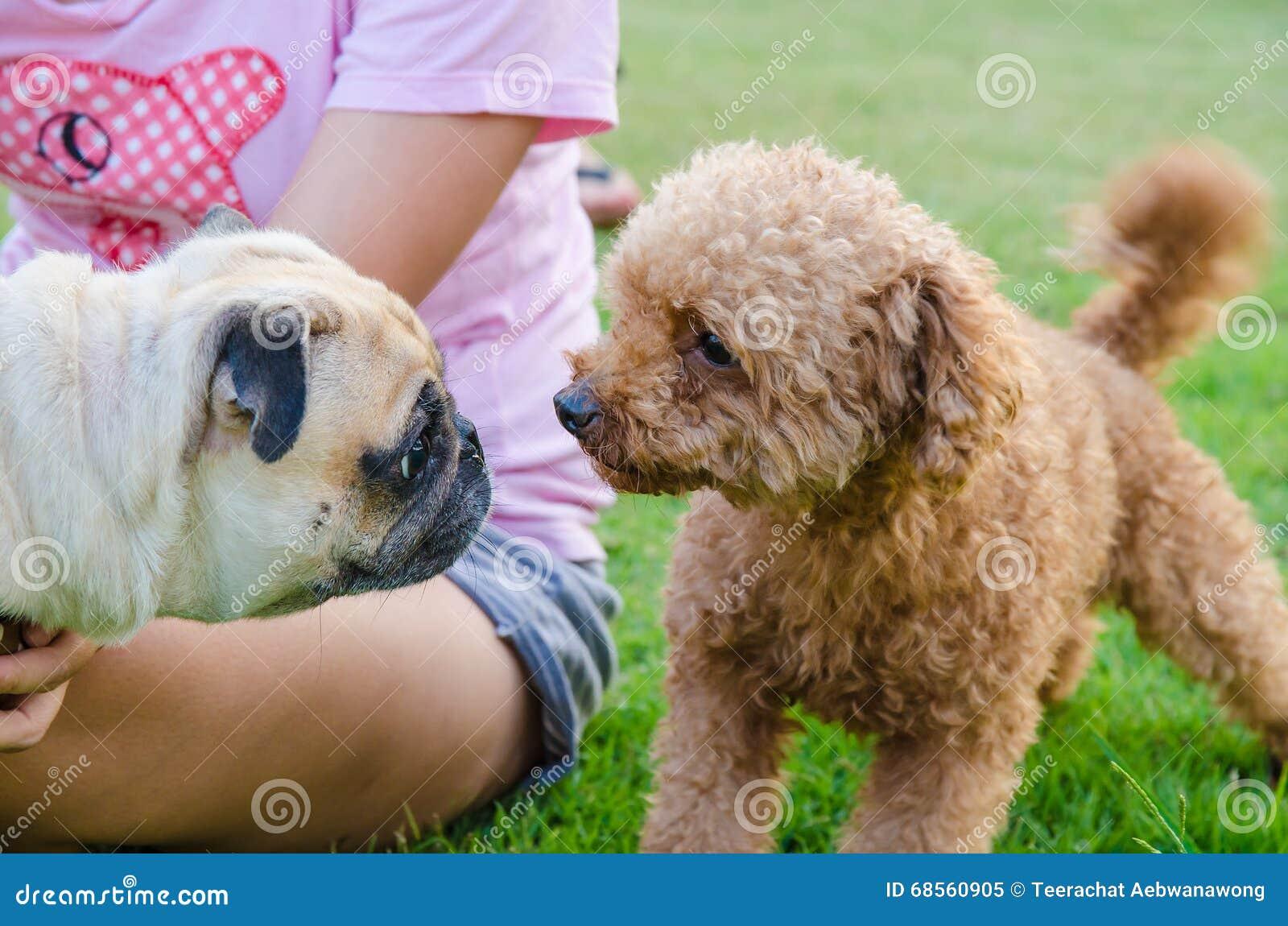 Netter Hundewelpe Pug gegen Pudel auf grünem Feld