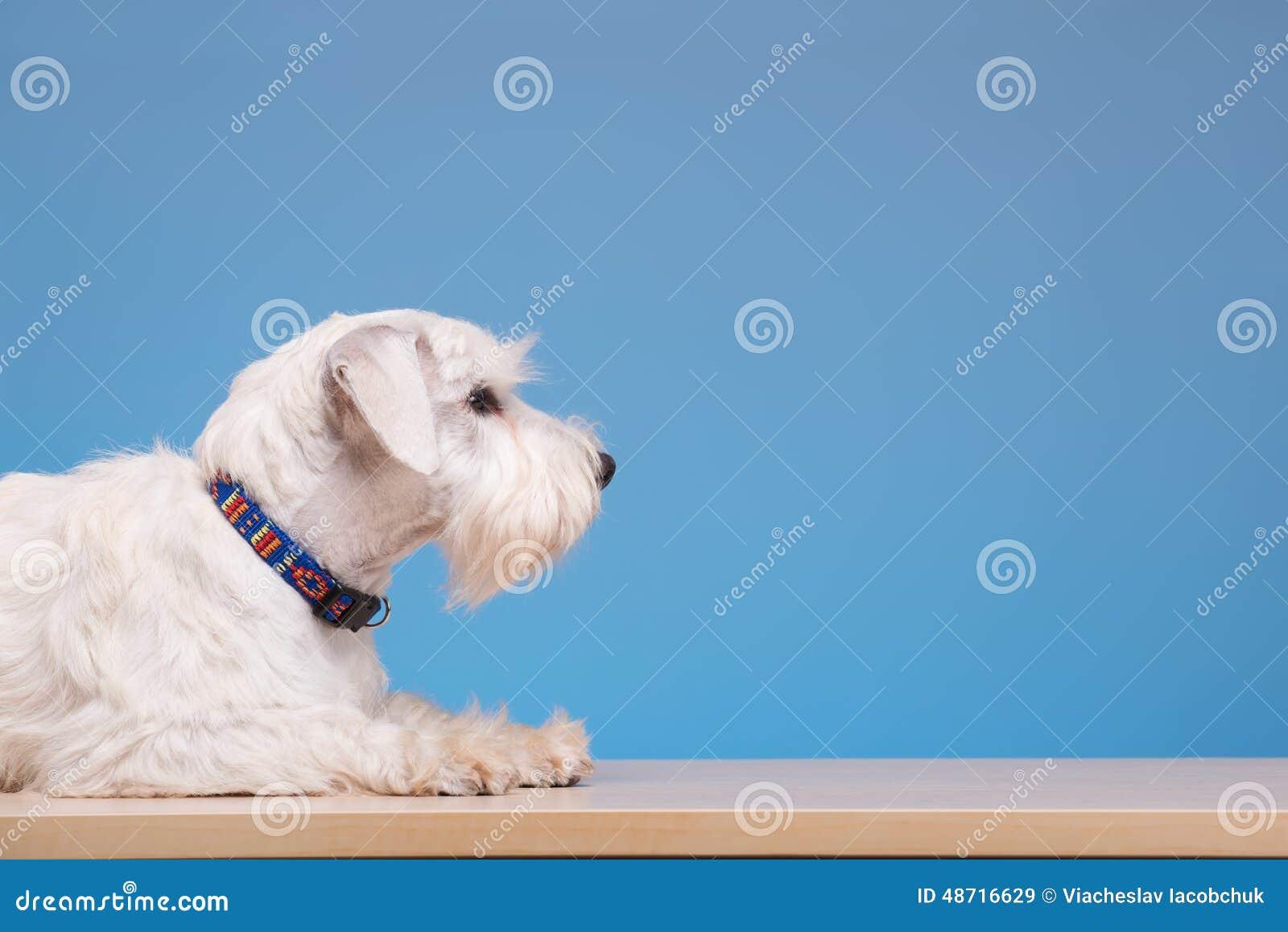 Netter kleiner hund auf dem tisch stockbild bild von