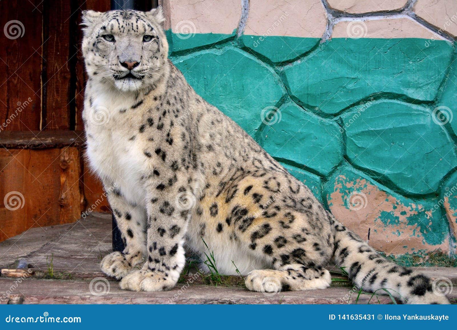 Netter Leopard Brütens