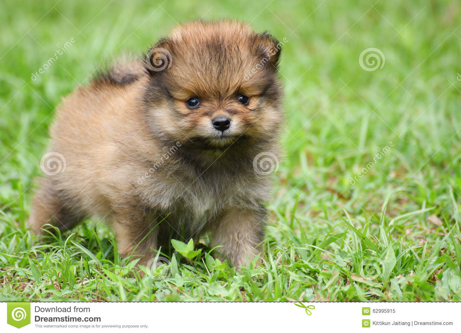 Netter Pomeranian Welpe