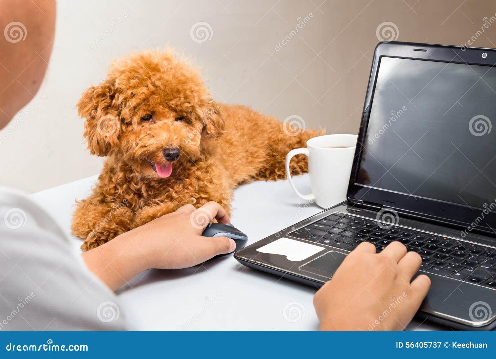 Netter Pudelwelpe begleiten die Person, die mit Laptop-Computer auf Schreibtisch arbeitet
