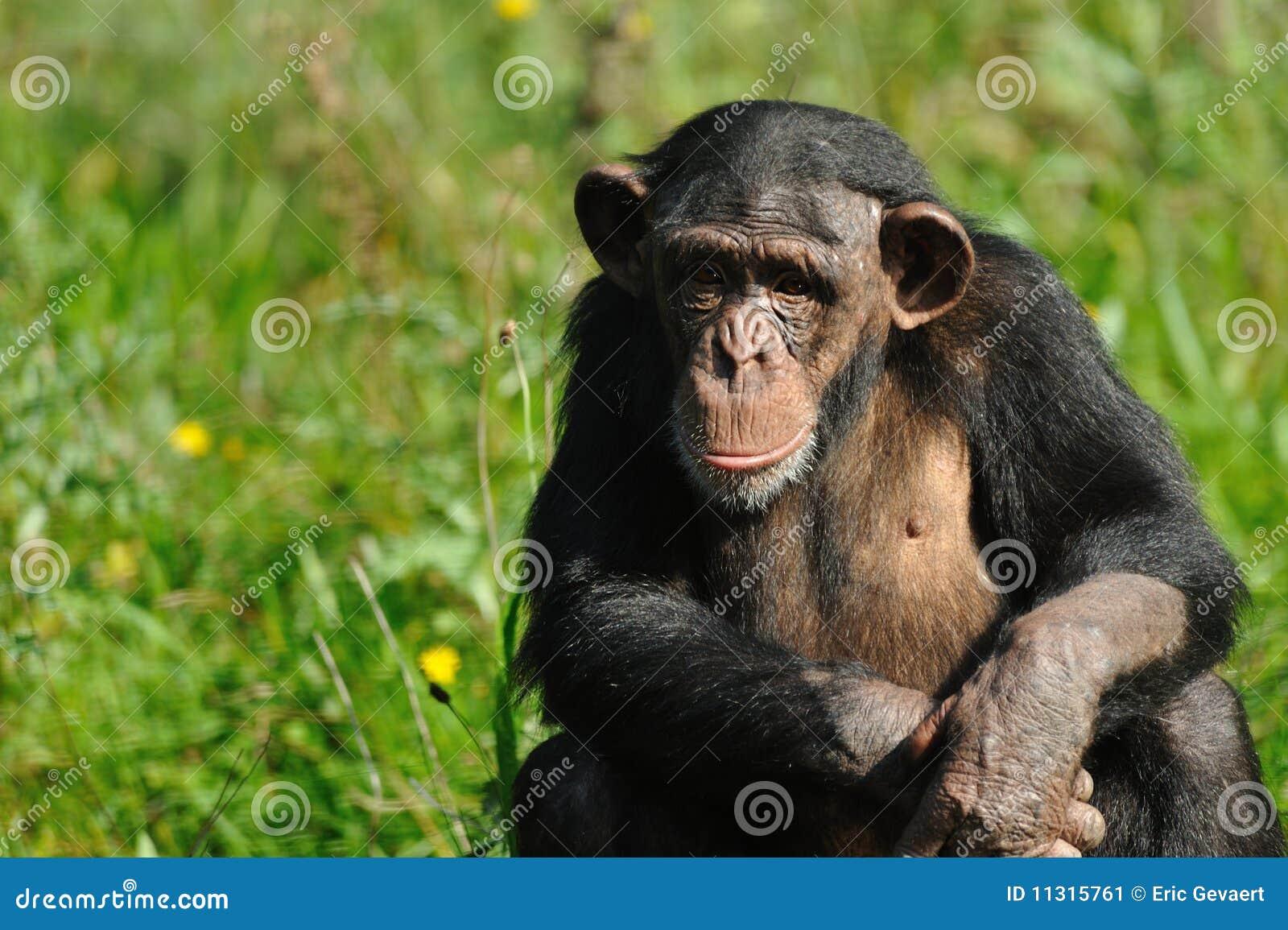 Netter Schimpanse
