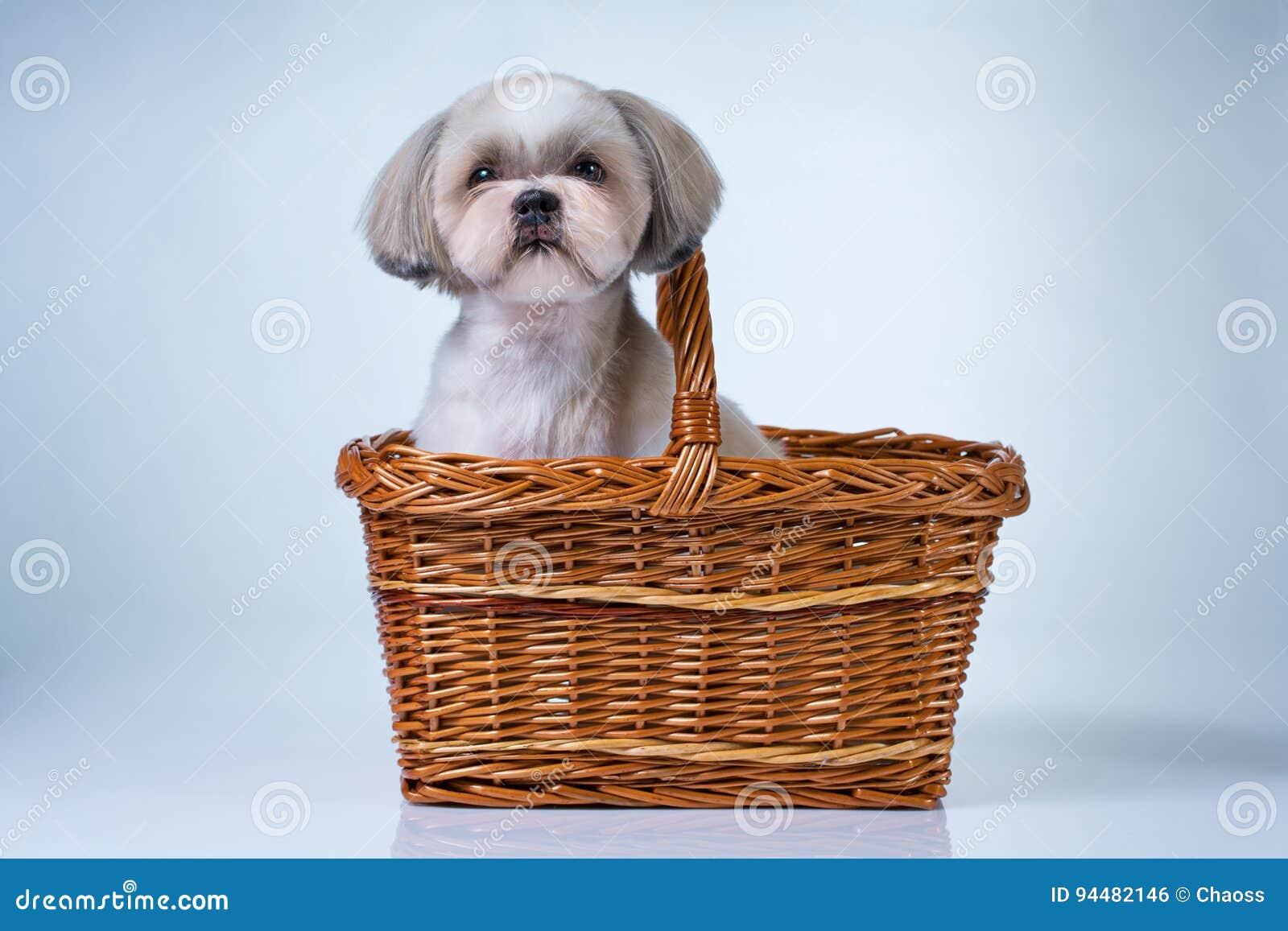 Netter shih tzu Hund