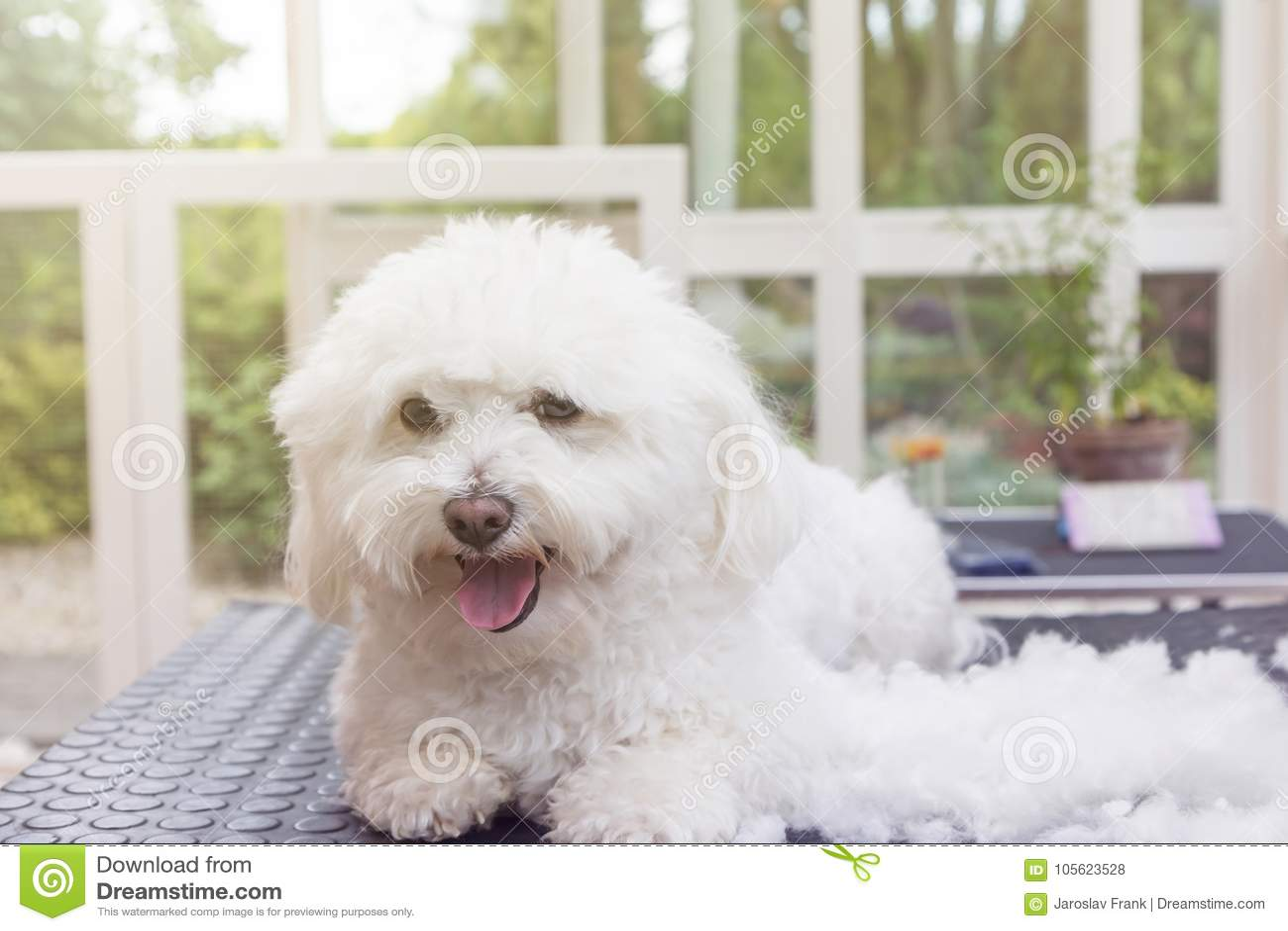 Netter weißer Hund von Bolognese genießt das Pflegen